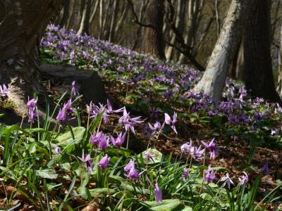 「みかも山公園」のカタクリ_2021_3月23日は、開花が進んでいて見頃終盤でした(栃木県栃木市)
