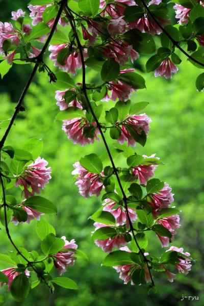 ◆猪苗代湖南部~初夏の野の花紀行