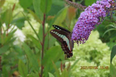 睡蓮の庭で見られた蝶