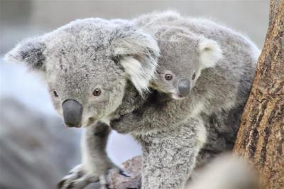 日帰りできる横浜の動物園2園に2泊2日(3)金沢動物園(後)Helloコアラの赤ちゃん!~コアラをメインに2番目当てのアオバネワライカワセミ