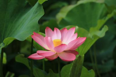 名古屋鶴舞公園の初夏の花♪ 妖艶なまでの美しさのハス&あじさいとか♪