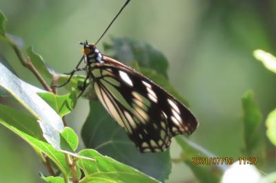 2021森のさんぽ道で見られた蝶(32)ルリタテハ、ゴマダラチョウ、アカボシゴマダラ、ウラナミアカシジミ等