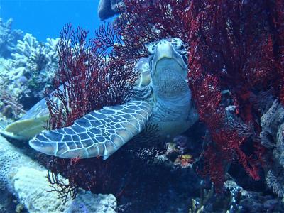 夏!沖縄 座間味島「ブツブツサンゴ」でダイビング