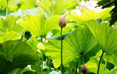 Japan 昭和記念公園 2021夏 蓮の花とキノコ ~ミツバチばあやの冒険~