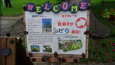 上坂部西公園へ、満開になった鎧獅子の花を見学に行きました その1。