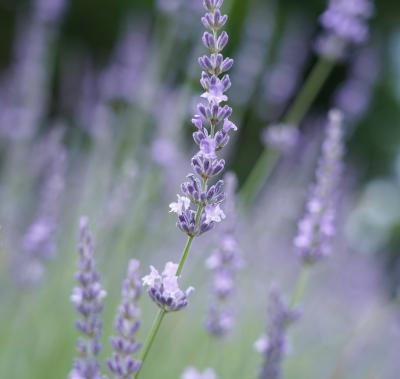 Japan ハーブの仲間と一緒に森田ガーデンと都立薬用植物園2021 ~ミツバチばあやの冒険~
