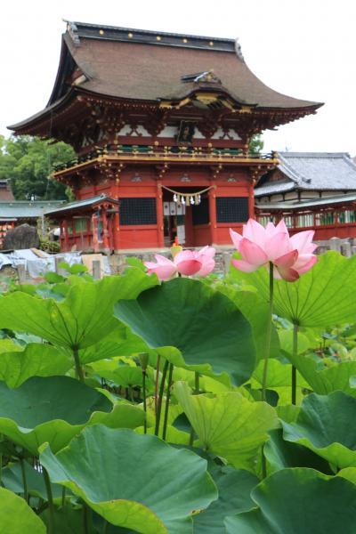 雨の日の岡崎伊賀八幡宮のハス♪&その後に見たびっくりの光景、岡崎弘正寺♪