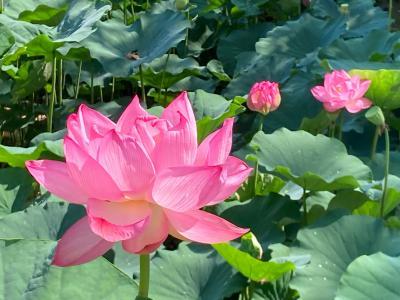 プチプチ旅 3年ぶりに花盛りのハス園とついでにリス園も楽しめる町田薬師池公園に行ってきた