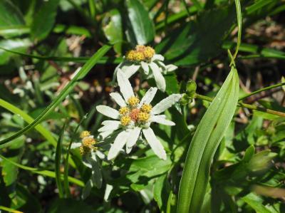 ホソバヒナウスユキソウが咲く岩尾根歩き 谷川岳日帰り登山