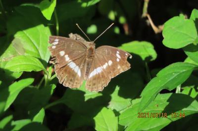 2021森のさんぽ道で見られた蝶(32)イチモンジチョウ、コミスジ、ダイミョウセセリ、アカボシゴマダラ等