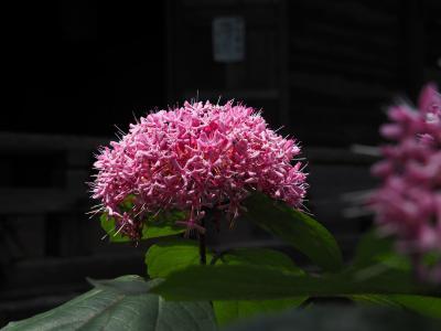 ボタンクサギの花、長寿寺へ