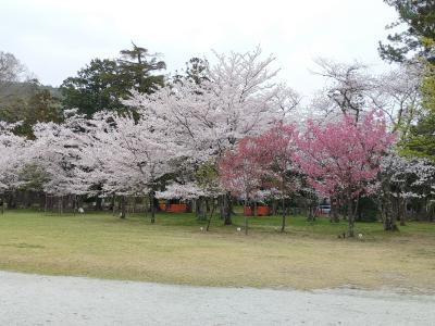 ほんわりあったかい京都へと(Part 3. 桜舞う鴨川)