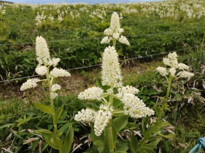 長野県民割引きで霧ヶ峰高原で白い花の群落に出会う。