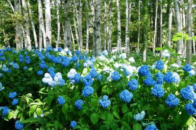 2021.7 豊平公園の白樺とアジサイのコラボとアナベル