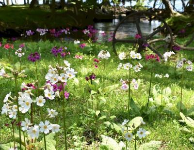 新緑・クリンソウを楽しむ 6月の中禅寺湖畔と戦場ヶ原歩き