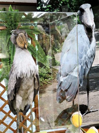 リベンジ再訪の伊豆レッサーパンダ遠征2泊2日(3)熱川バナナワニ園&伊豆シャボテン動物公園いろいろ~昼咲き月下美人や戻ったハシビロコウのビル
