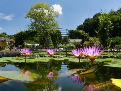 「あしかがフラワーパーク」の熱帯性スイレン_2021_綺麗に咲き始めました(栃木県・足利市)