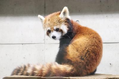 今回も赤ちゃん目当て7月連休の埼玉こども動物自然公園(北園)キリン赤ちゃん公開~プーズーのアオイちゃん&レッサーパンダはみやびちゃんとリュウ