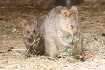 今回も赤ちゃん目当て7月連休の埼玉こども動物自然公園(東園)コアラのコタロウくん哀悼~クオッカ・カンガルー・ワラビー・ナマケモノの赤ちゃん