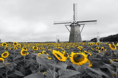 佐倉のオランダ風車とひまわり