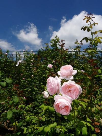 「あしかがフラワーパーク」の夏の花_2021_バラが、思いの外、綺麗に咲いていました(栃木県・足利市)