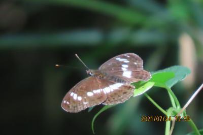 蝶の里公園を訪問しました①見られた蝶・・その1)ルリシジミ、ツバメシジミ、イチモンジチョウ、コミスジ他