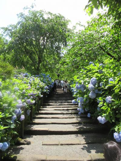紫陽花を見に鎌倉まで ~明月院~ 2021