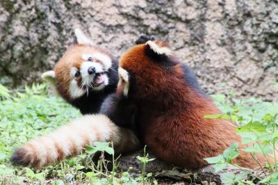 やっと再訪できた多摩動物公園(前編)午前と午後で大活躍のレッサーパンダ親子2組6頭に再会!~チーターの赤ちゃんとアフリカ圏ははあきらめたせい