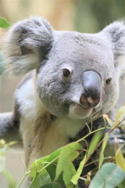 やっと再訪できた多摩動物公園(後編)4度目にして目を覚ましたコアラ全4頭&オランウータンのスカイウォークでママにおぶさるホッピーくん他