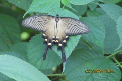 蝶の里公園を訪問しました①見られた蝶 その2)ジャコウアゲハ、シロチョウ類、ヒカゲチョウ類
