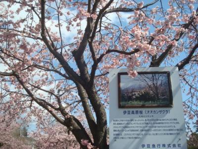 伊豆高原駅周辺を徒歩で散策(大寒桜・オルゴール館・八幡宮来宮神社)