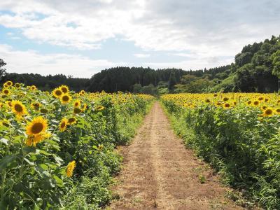 市原みつばち牧場のひまわり畑