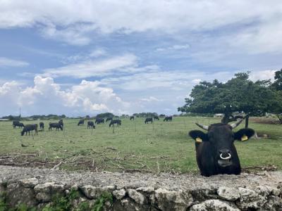 1泊2日、牛がいっぱい黒島弾丸一人旅
