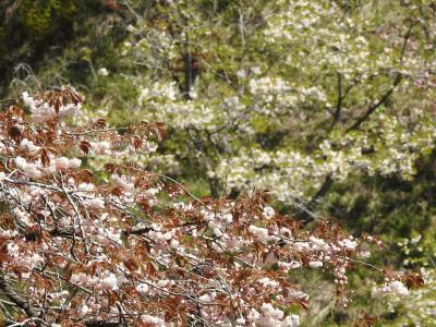 桜アーカイブ2021 ー多摩森林科学園