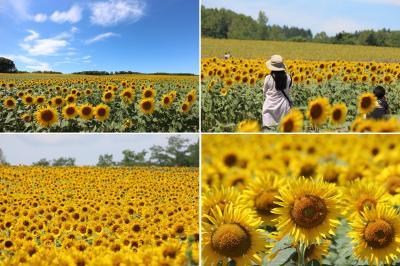 2021.7 猛暑に咲く200万本のヒマワリ 北海道北竜町