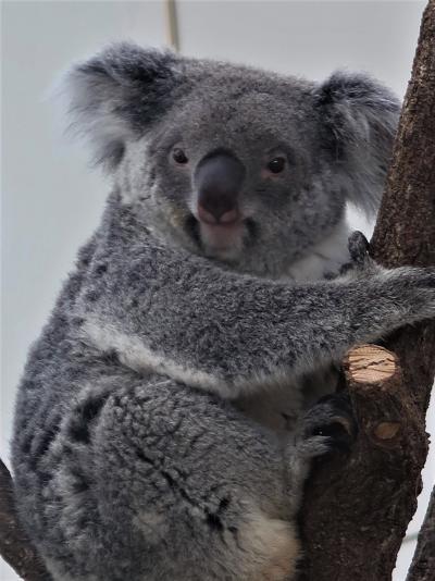 鹿児島26 平川動物公園-3 コアラ館は別格:一番人気/観客3人で ☆目覚ましコアラに接近