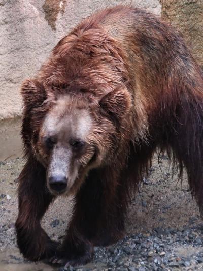 鹿児島27 平川動物公園-4 世界のクマ類・不思議な動物 ☆エゾヒグマ・ブラジルバク