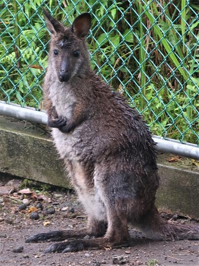 鹿児島28 平川動物公園-5 オーストラリア園・世界の鳥類 ☆カンガルー・コンドル等