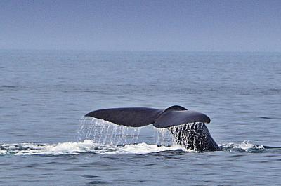 クジラが跳ね マグロは飛ぶ《ウトロが霧でも 羅臼があるさ♪》【知床8日間 CREWG旅-3】
