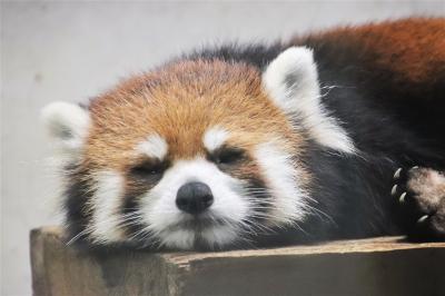 8月も再び赤ちゃん目当ての埼玉こども動物自然公園(北園)プーズーのアオイちゃん元気いっぱい~レッサーパンダはリンちゃんと寝顔のリュウくん