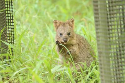 8月も再び赤ちゃん目当ての埼玉こども動物自然公園(東園)祝・命名クオッカのミモザちゃん!~ナマケモノとカンガルーの赤ちゃんには会えず
