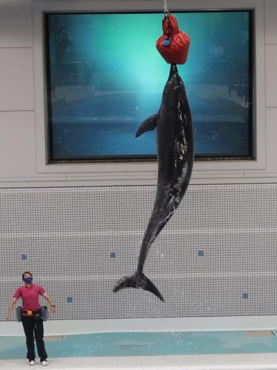 鹿児島33 かごしま水族館-5 ハンドウイルカ 9頭飼育 ☆イルカパフォーマンス-ジャンプ!