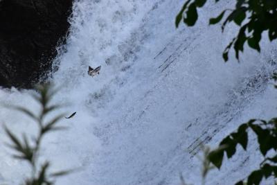 滝上渓谷「錦仙峡」2021夏~サクラマスの滝登りと綿毛のリュウジョ~(北海道)