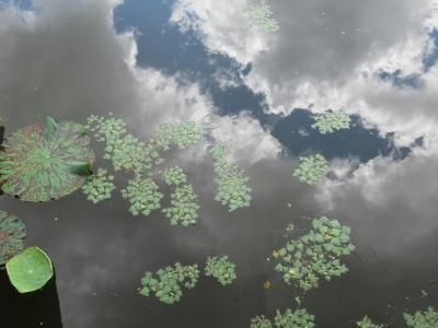 台風一過のエキスポシティと万博公園 その2 日本庭園のはす池ではまだ咲いてました