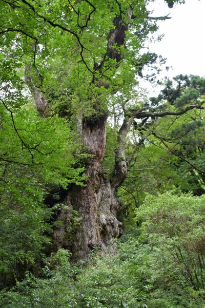 屋久島へ行ってきました!その3 縄文杉に出会えた感動。それをも上回る、ゴールした時の達成感。