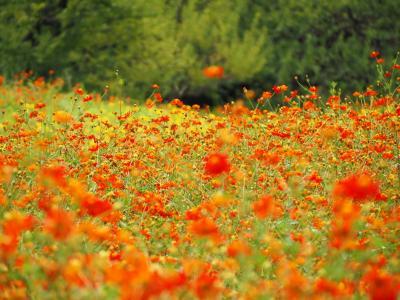 オレンジの絨毯☆浜離宮恩賜庭園のキバナコスモス