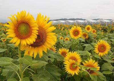 2011年8月 山陽小野田市 花の海にひまわりを見に行きました。みちしおでランチ。