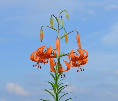 八方尾根、栂池自然園、白馬五竜高山植物園で夏の花を愛でる