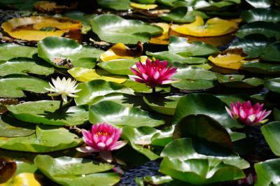 20210817-1 旭川 上川神社頓宮と、常磐公園の蓮の花