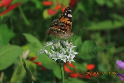 2021森のさんぽ道で見られた蝶(37)ヒメアカタテハ、イチモンジチョウ、ツマグロヒョウモン、ベニシジミ等